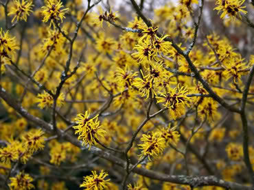 Hamamelis Virginiana Witch Hazel Leaf Twig Tincture The Herb