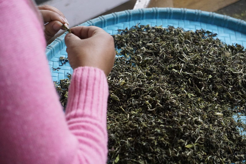 Darjeeling tea hand-picking and rolling