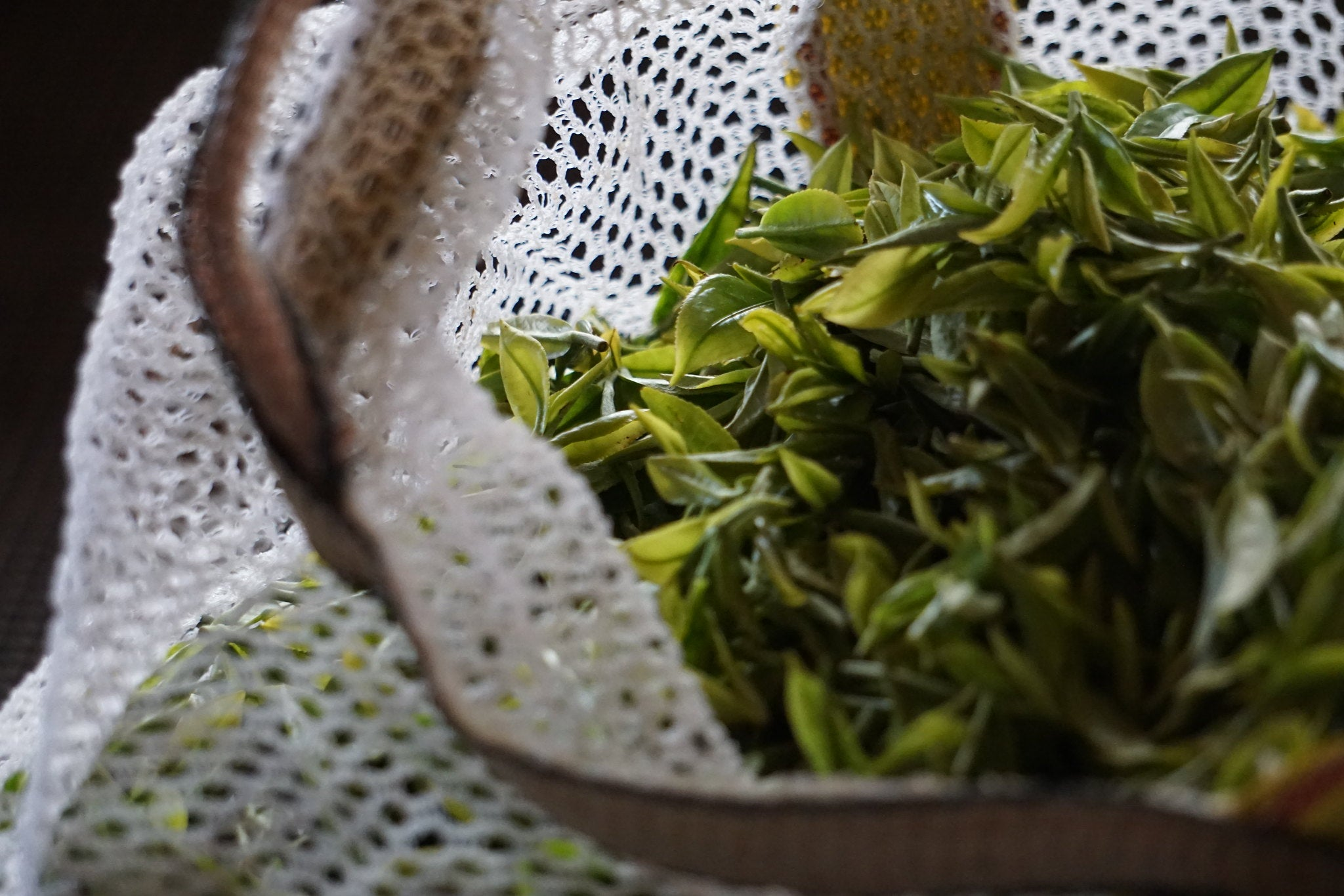 Hand picked Darjeeling tea leaves