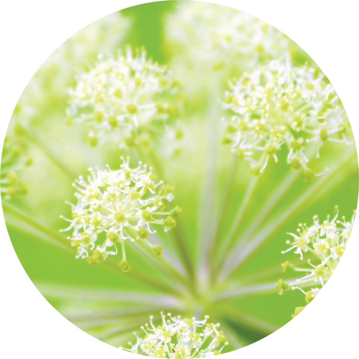 Angelica Root Essential Oil