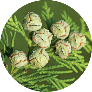 Cedar, White Essential Oil