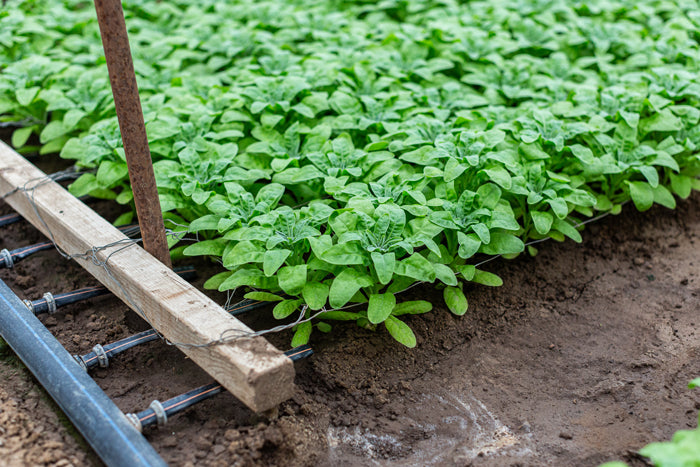 Love Delivered Stocks growing well