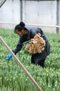 cropping tulips at Love Delivered Farm