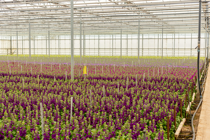 Stocks growing in glasshouse at love delivered