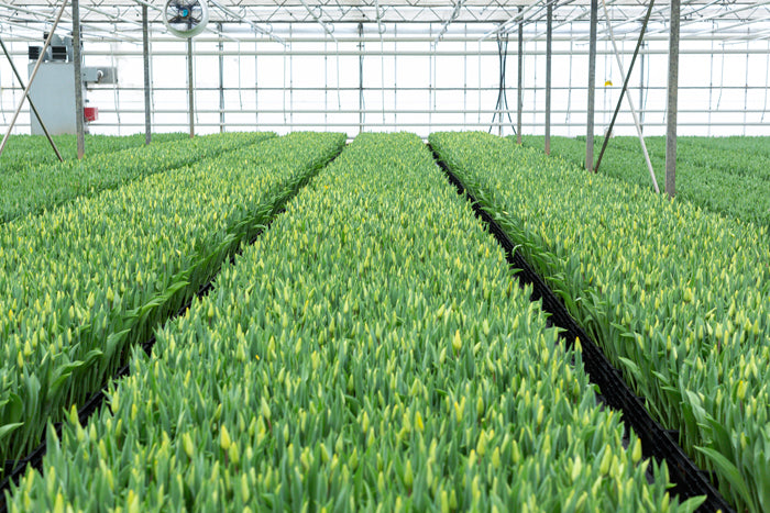 tulips ready to crop at Love Delivered farm