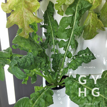 Load image into Gallery viewer, Arugula Greens Heirloom Hydroponic Seeds