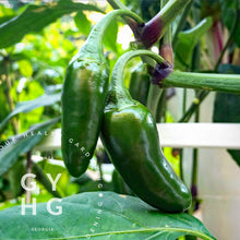 Load image into Gallery viewer, Jalapeño Hot Pepper Hydroponic Seeds