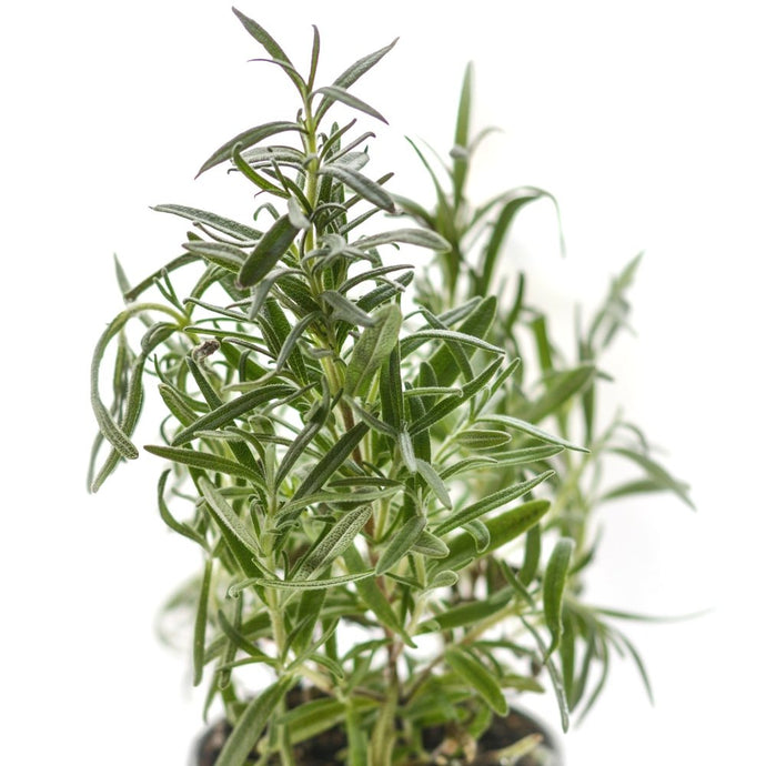 Enrich Your Skin with Rosemary - The Go to Herb!