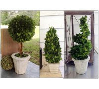 Boxwood Spiral Topiary - Portico Indoor & Outdoor Living Inc.