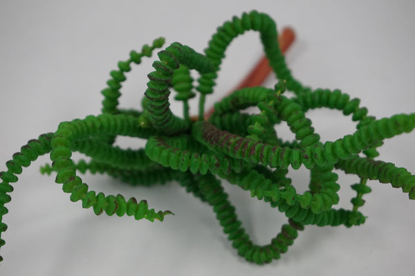 GREEN WORM SUCCULENT - Portico Indoor & Outdoor Living Inc.