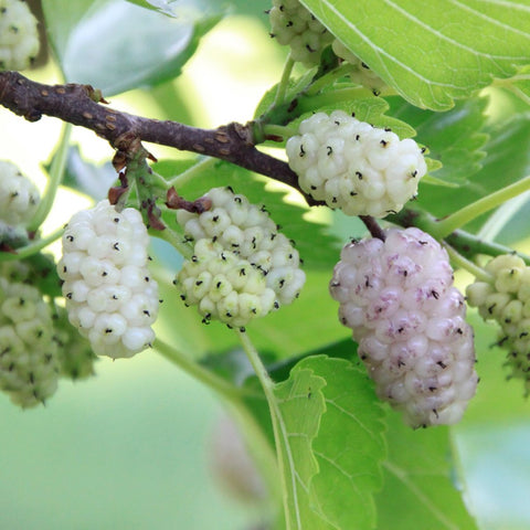 white mulberry taste and benefit, laval, avaskincare