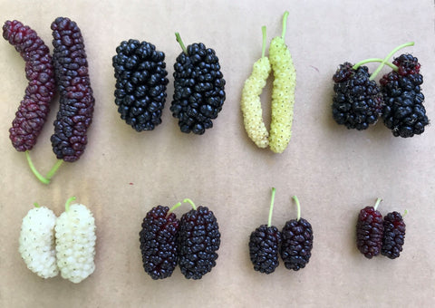 types of mulberry based on size, taste, and colour. Laval, avaskincare