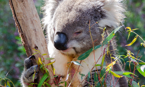 PLEASE GIVE US YOUR SUPPORT FOR KANGAROO ISLAND!