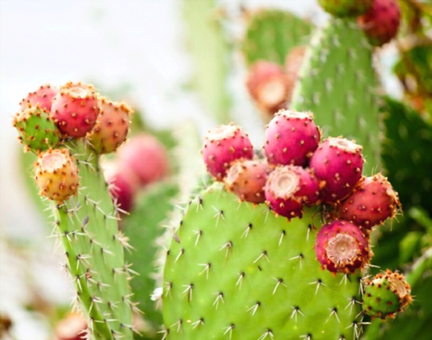 How fast do Prickly Pear Cactus grow?