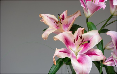 What to do with Lilies in Pots after Flowering
