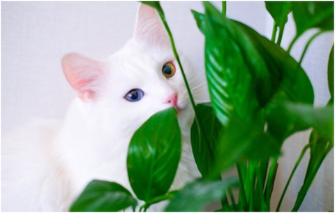 Peace Lily & Cats