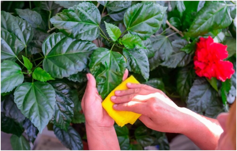 Treat Insects on Hibiscus