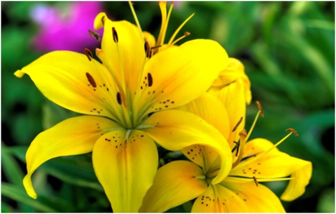How to Grow Lily from Flower