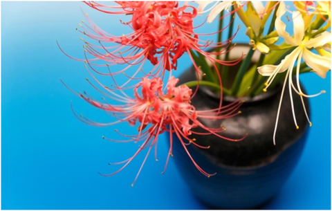 Red Lily Plant Care
