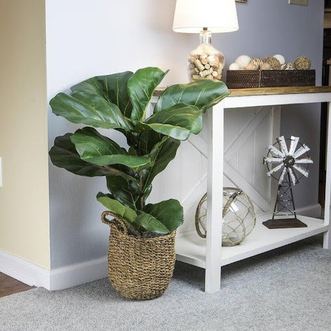 Decorating with Fiddle Leaf Fig