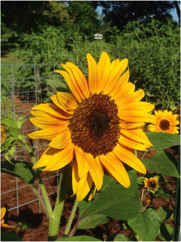 Guide to grow sunflower