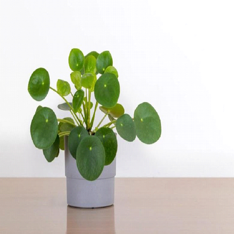 Chinese Money Plant Benefits that You Didn't Know