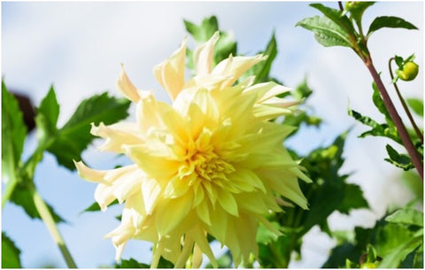 Dahlia Growth Stages