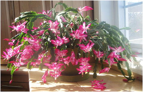 How to Grow and Care for Schlumbergera