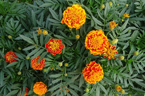 Wait for the marigolds to dry first