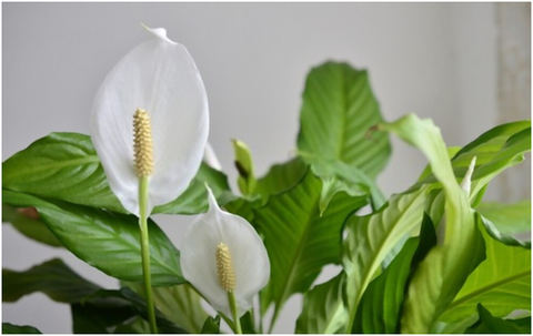 Peace Lily Meaning