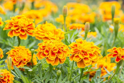 The French Marigolds