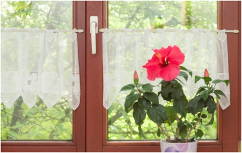 Hibiscus Plant At Home