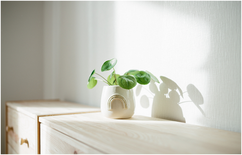 How much sun does a Pilea need?