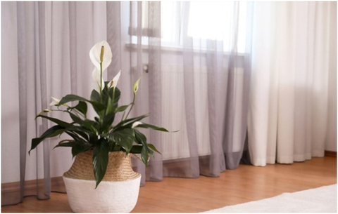 How to Grow and Care for Peace Lily Plants