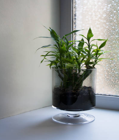 How to Grow Lucky Bamboo in Soil