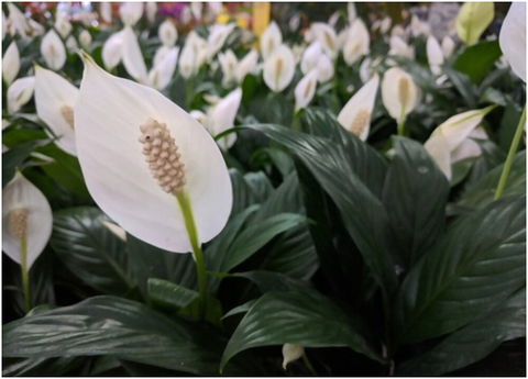 Peace Lily Flowering Season in India