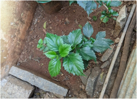 Best Soil for Hibiscus in Ground