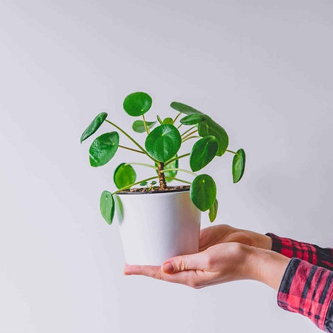 Here's what you did not know about Pilea Peperomioides Care