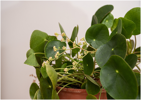 Flowers on Chinese Money Plant