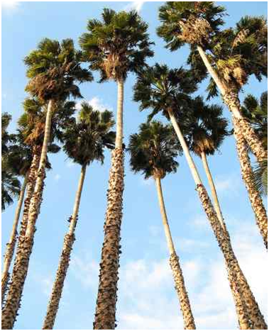 Mexican Palm