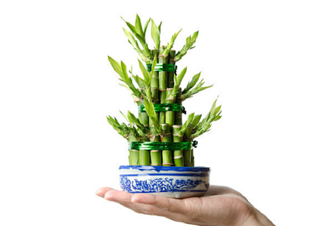 3 layer lucky bamboo plant benefits