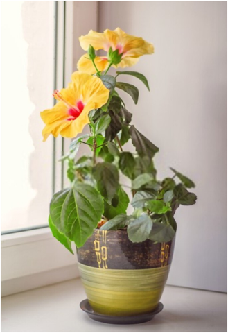 The Right Temperature to grow Hibiscus