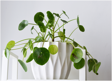 PileaPeperomioides Problems