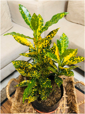 The Gold dust croton