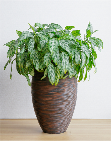 Chinese Evergreen, an Easy Growing Houseplant