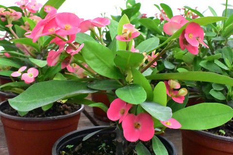 Crown of Thorns Euphorbia Mili Cactus