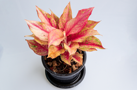 Look a Pink Chinese Evergreen