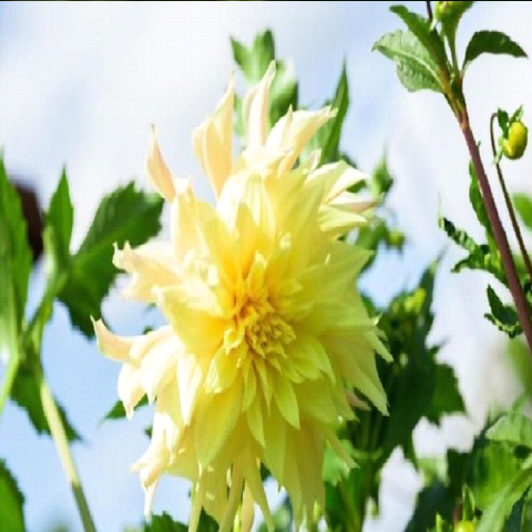 Do you Know the Dahlia Growth Stages?