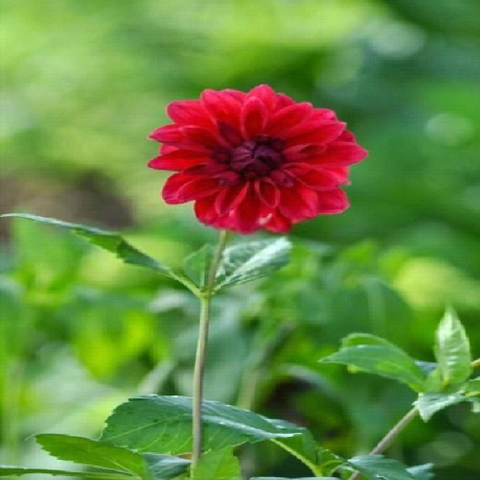 Dahlia Heights: Does it vary?
