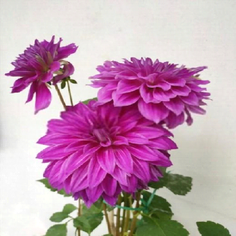 Pruning the Dahlia Plant